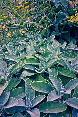 Photograph - Sage In The Garden by Michelle Calkins