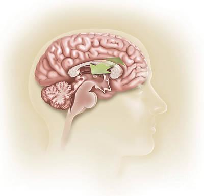 Lobe Digital Art - Sagittal View Of Human Brain Showing by TriFocal Communications