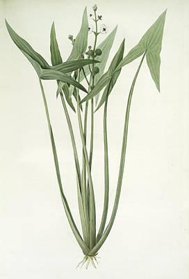 Sagittaria Sagittifolia, Sagittair En Fléche, Arrowhead Art Print by Artokoloro