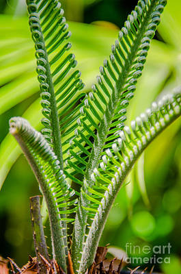Photograph - Sago New Growth by Dale Powell