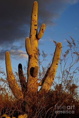 Photograph - Saguaro 2 by Kerri Mortenson