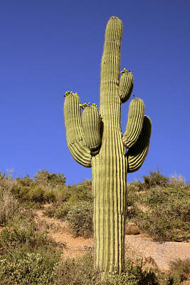 Armed Photograph - Saguaro - A Cactus With Personality by Christine Till