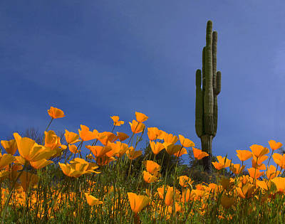 Photograph - Saguaro And Poppies by Susan Rovira