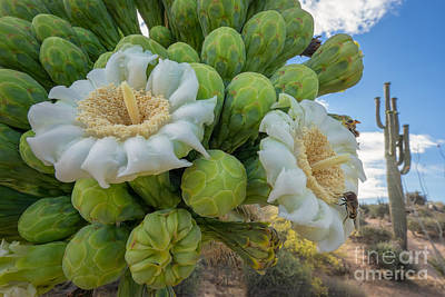 Photograph - Saguaro Buds And Blooms by Marianne Jensen