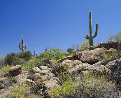 Photograph - Saguaro Cacti Arizona Desert by Marianne Campolongo