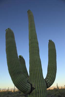 Art Print featuring the photograph Saguaro Cactus At Sunset by Alan Vance Ley