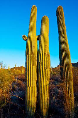 Saguaro Cactus Carnegiea Gigantea Art Print by Panoramic Images