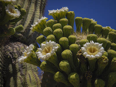 Photograph - Saguaro Cactus Flowers by Penny Lisowski