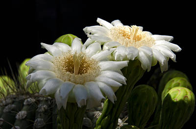 Saguaro Cactus Flowers  Print by Saija  Lehtonen