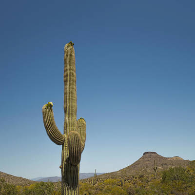 Photograph - Saguaro Cactus In Bloom by Marianne Campolongo