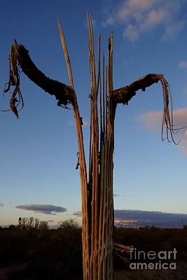 Photograph - Saguaro Cactus Ribs by Kerri Mortenson