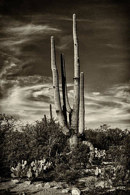 Photograph - Saguaro Cactus Saguaro National Park Dsc08296 by Greg Kluempers