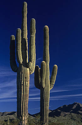 Saguaro Cactus Sunset Arizona State Usa Art Print