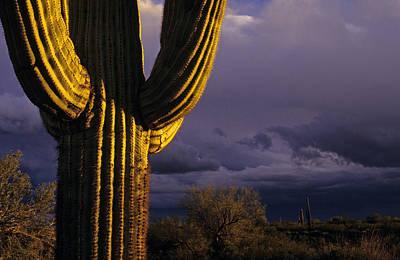 Saguaro Cactus Sunset At Dusk Arizona State Usa Art Print