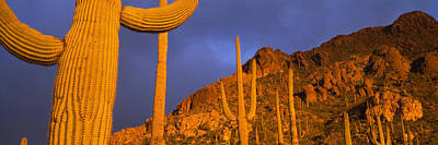 Saguaro Cactus Photograph - Saguaro Cactus, Tucson, Arizona, Usa by Panoramic Images
