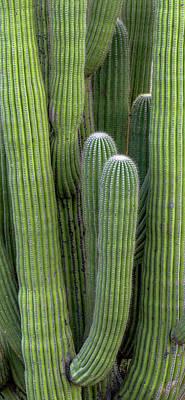Saguaro Carnegiea Gigantea Cactus Art Print by Panoramic Images