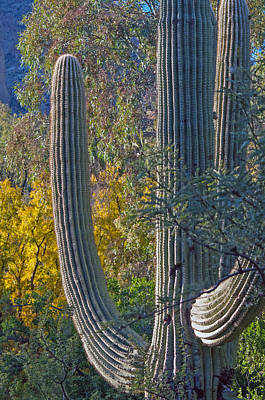 Saguaro Fall Color Art Print