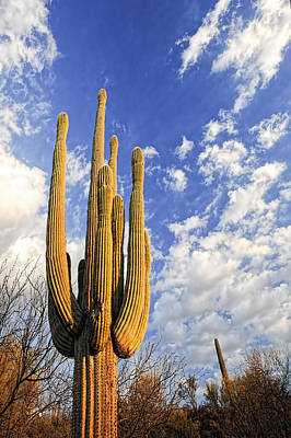 Photograph - Saguaro King by Anthony Citro
