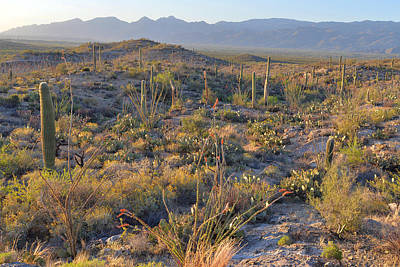 Photograph - Saguaro National Park East by Alan Lenk