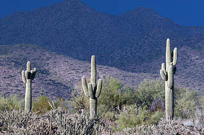 Photograph - Saguaro Sentinel Of The Desert by Tam Ryan