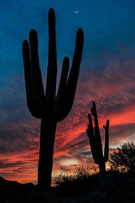 Saguaro Silhouettes Art Print by Guy Schmickle