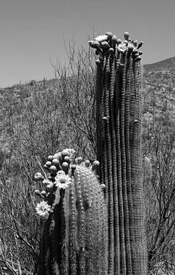 Photograph - Saguaro Springtime by Joe Kozlowski