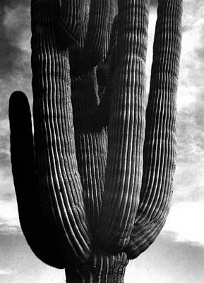 Digital Art - Saguaros II by Ansel Adams
