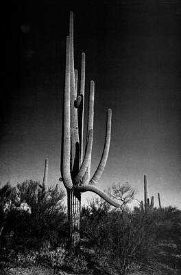 Digital Art - Saguaros IIi by Ansel Adams