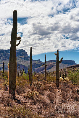 Watercolor Typographic Countries - Saguaros in the Organ Pipe Cactus National Monument by Frank Bach