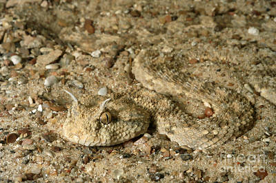 Viper Photograph - Sahara Horned Viper by Gregory G. Dimijian