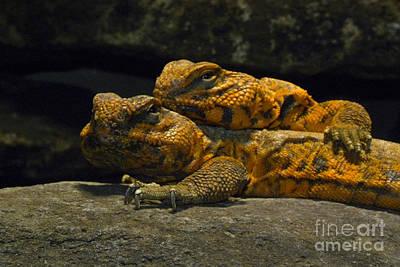 Saharan Spiny-tailed Lizards Art Print