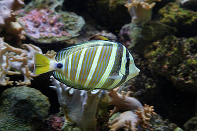 Tang Photograph - Sailfin Tang (zebrasoma Veliferum by David Wall
