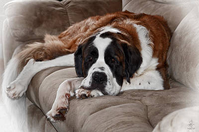 Photograph - Saint Bernard by Pennie  McCracken
