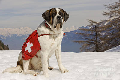 Dog In Snow Photograph - Saint Bernard Rescue Dog by Jean-Michel Labat