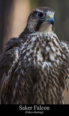 Digital Art - Saker Falcon by Chris Flees