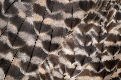 Falcon Photograph - Saker Falcon Wing Feathers Abstract by Nigel Downer