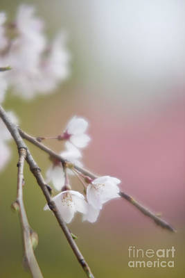 Photograph - Sakura-5 by Tad Kanazaki
