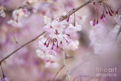 Photograph - Sakura-7 by Tad Kanazaki