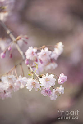 Photograph - Sakura-9 by Tad Kanazaki