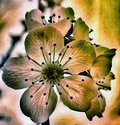 Almond Photograph - Sakura - Cherry Blossom by Marianna Mills
