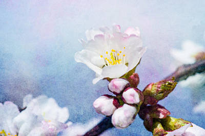 Sakura Flower Art Print by Alexander Senin