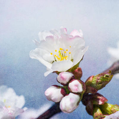 Sakura Flower - Square Art Print by Alexander Senin