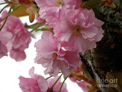 Sakura Art Print by Laura Yamada