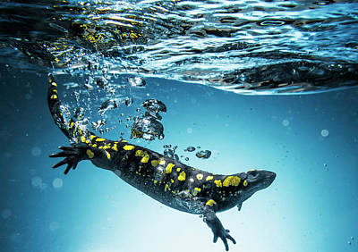 Blue-spotted Salamander Photograph - Salamander  Caudata  Swimming In Water by Ben Welsh