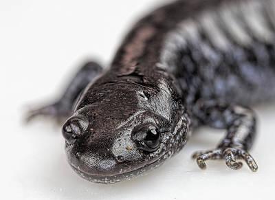 Photograph - Salamander by John Crothers