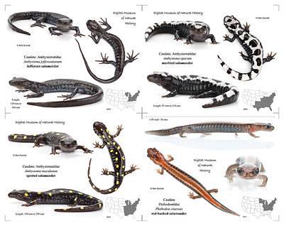 Salamanders Digital Art - Salamanders by Alex Surcica