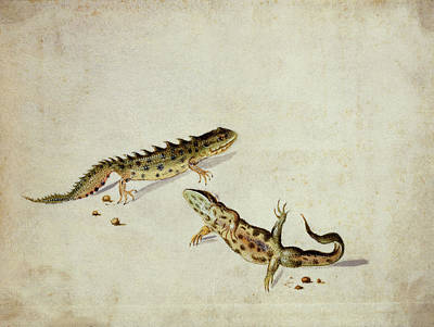 Newts Wall Art - Photograph - Salamanders by Natural History Museum, London/science Photo Library