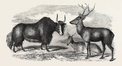 Yak Drawing - Sale Of The Knowsley Menagerie Yak And Bara Singha Deer by English School