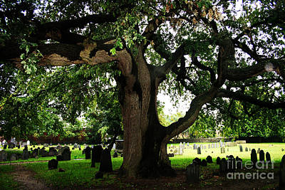 Photograph - Salem's Oak by Alyce Taylor