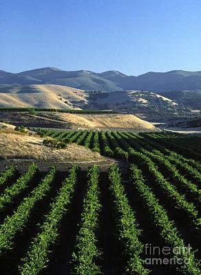 Salinas Valley Vineyard Art Print